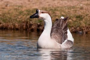 Swan-Goose-2