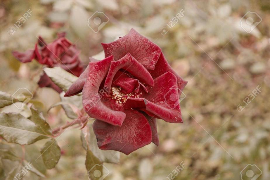 Dry red rose in autumn garden top view. Flower in fall season sad autumn mood. Wilted rose flower closeup above view shot with copyspace.